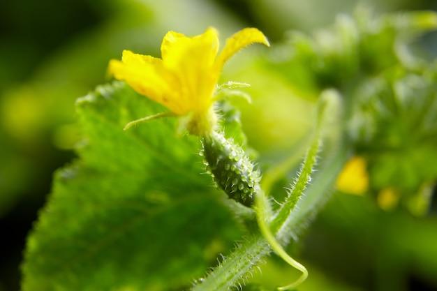 Ovario di cetriolo, fattoria di fiori di cetriolino giallo, ortaggi in crescita
