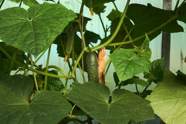 Serra della pianta del cetriolo. cetrioli in crescita - concetto di agricoltura, giardinaggio e agricoltura