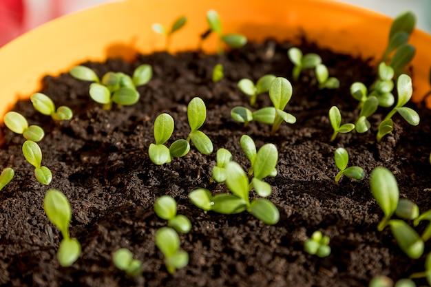 Germogli di piantina di cetriolo nel contenitore pronto per la pianta. giovani piante verdi germogliano nell'orto del balcone. piantine, serra, fattoria. coltivazione di ortaggi. concetto di agricoltura.