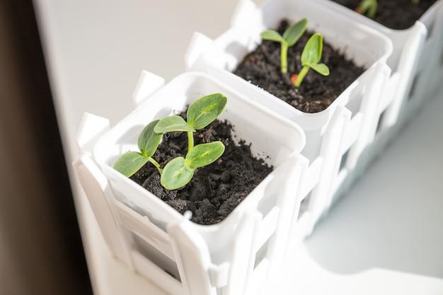 Germogli di piantina di cetriolo nel contenitore pronto per la pianta.