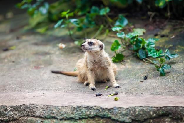 Curios meerkat suricate seduto sulla pietra