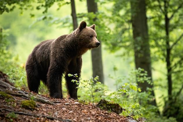 Curioso orso bruno che osserva i dintorni della bellissima foresta fiorita