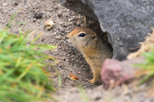 Lo scoiattolo di terra artico curioso ma cauto fa capolino dal buco sotto la pietra e guarda