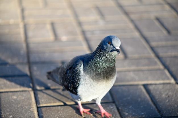 Curioso piccione uccello che cammina su una passerella in un parco cittadino. vista ravvicinata