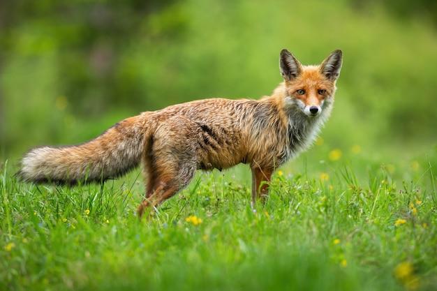 Curioso volpe rossa vulpes vulpes in piedi durante la caccia sul prato di fiori selvaggi