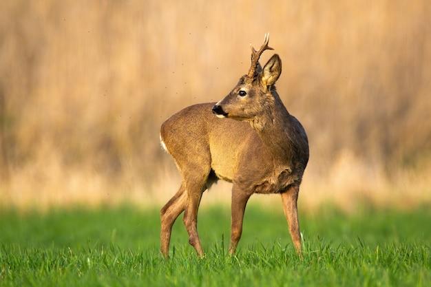 Curioso capriolo guardando indietro sopra la spalla su un prato verde nella natura primaverile