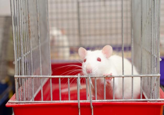 Ratto bianco curioso del laboratorio che guarda da una gabbia, dof basso con il fuoco selettivo sugli occhi del ratto