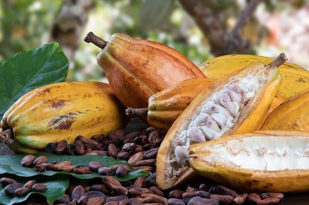 Tagliare i frutti di cacao e le fave di cacao crude con una piantagione di cacao sfocata sullo sfondo.