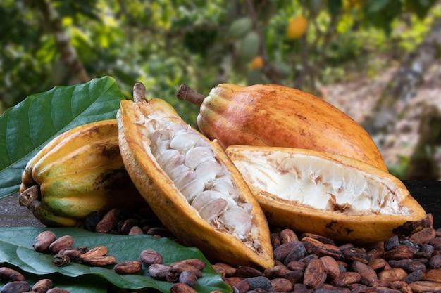 Tagliare i frutti di cacao e le fave di cacao crude con una piantagione di cacao sfocata nel.
