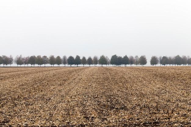 Taglia gli steli di mais essiccati nel campo. sullo sfondo il numero crescente di alberi nella nebbia.