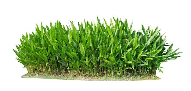Taglia la pianta. cespuglio della pianta di heliconia isolato
