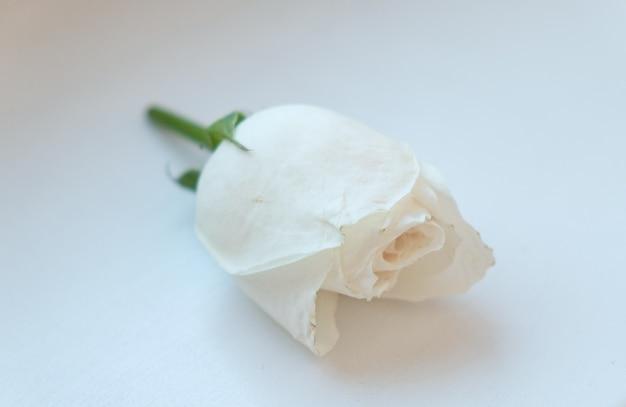 Tagliare il bocciolo di rosa bianca su uno sfondo bianco concetto di congratulazioni romantiche