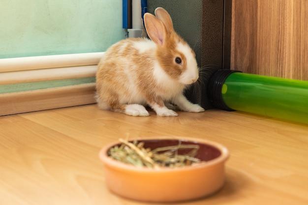 Simpatico coniglietto di 3 mesi seduto sul pavimento con cibo da fieno