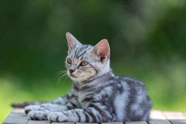 Gattino sveglio del gatto di shorthair americano nel giardino