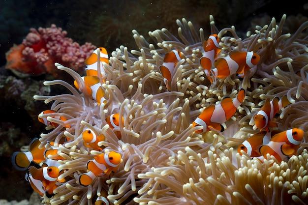 Pesci di anemone carino che giocano sulla barriera corallina, pesce pagliaccio di bel colore su corallo