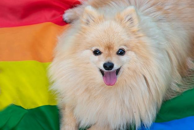 Cane omosessuale gay di spitz di pomeranian cucciolo animale sveglio con bandiera lgbt di colore arcobaleno felice lgbtq