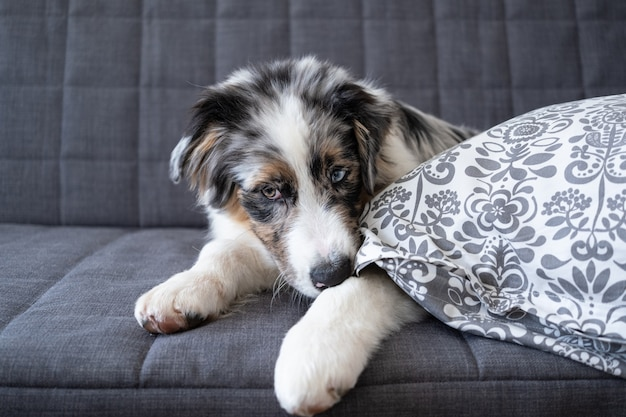 Simpatico cucciolo di cane pastore australiano blue merle. rosicchiare il cuscino. cucciolo birichino divertente. cattiva abitudine, comportamento problematico dell'animale domestico o dell'animale domestico.