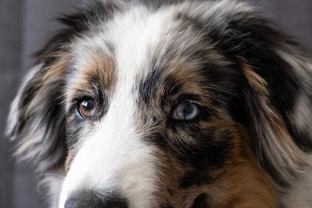 Carino pastore australiano blue merle cucciolo di cani occhi. occhi di diversi colori. guardando la fotocamera. adozione. riparo. concetto amichevole e di cura degli animali domestici.