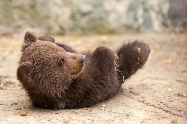 Orso bruno sveglio del bambino nello zoo. orso sdraiato sul pavimento nel recinto.