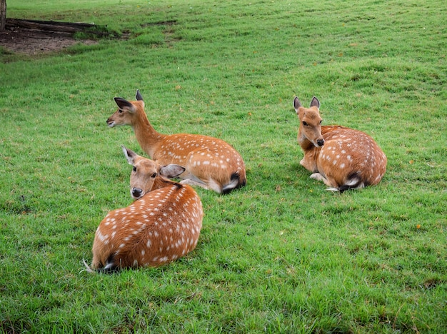 I simpatici cervi bambi o sika siedono su erba verde fresca girano la testa e sembrano amichevoli, macchiati di bianco su cervi marrone chiaro, animali in natura