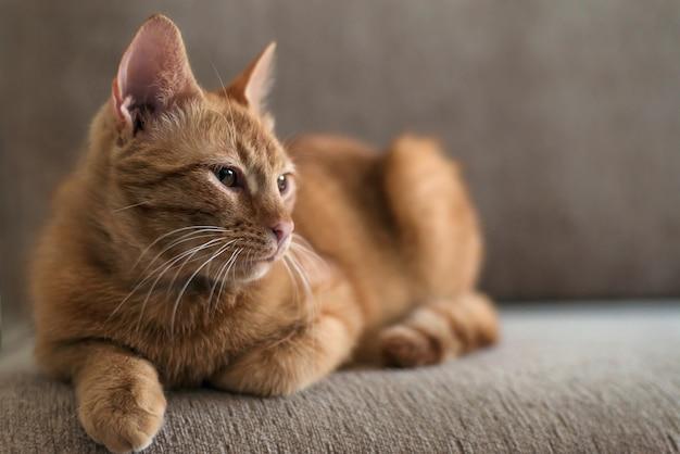 Il gatto soriano sveglio bello e divertente dello zenzero si trova su un divano, animali domestici e concetto di comfort domestico