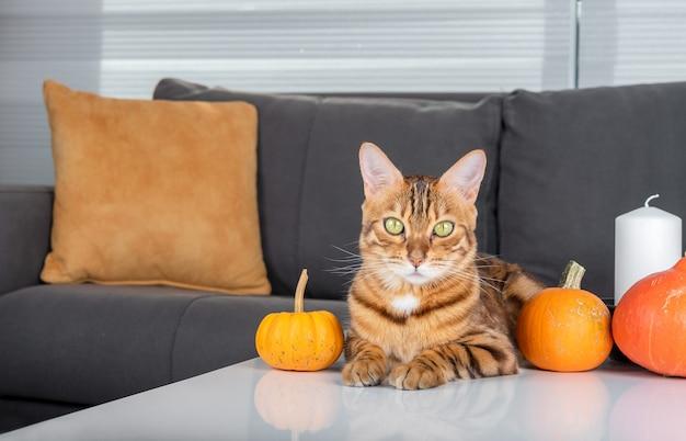 Un simpatico gatto bengala giace sul tavolo tra le zucche. decorazione della stanza per halloween.