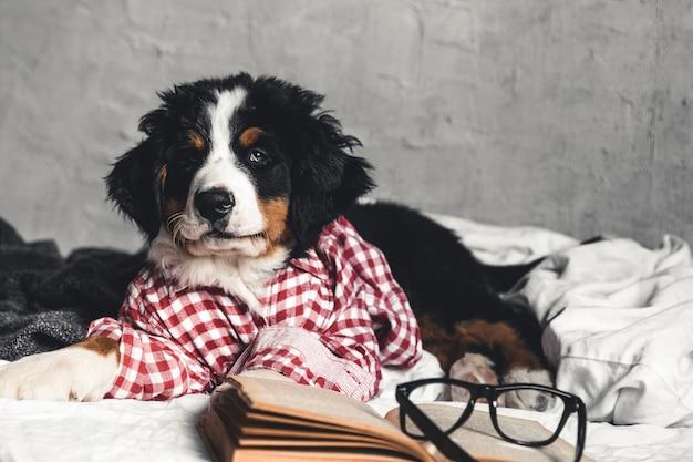 Simpatico bovaro bernese con camicia rossa su una coperta con un libro e occhiali.