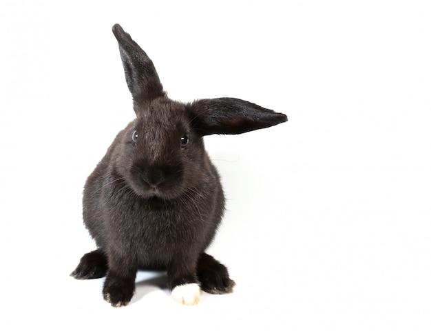 Coniglio di coniglietto nero sveglio che si siede sulla priorità bassa bianca