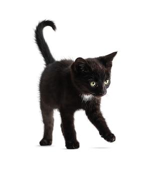 Gattino nero sveglio isolato su sfondo bianco. età del gattino 2 mesi