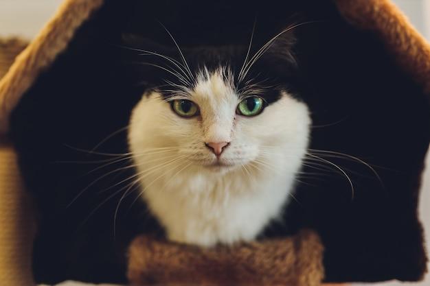 Simpatico gatto bianco e nero in una casa per animali domestici.