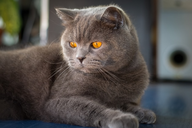 Simpatico gatto grigio britannico con bellissimi occhi arancioni