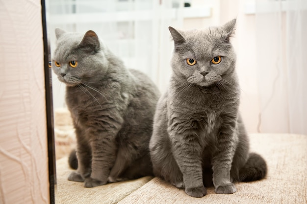 Simpatico gatto british shorthair con il suo riflesso in uno specchio