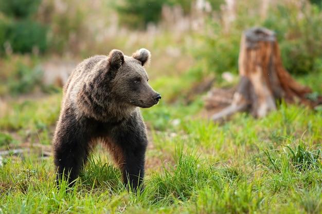 Orso bruno sveglio che cammina sul prato verde erboso in primavera
