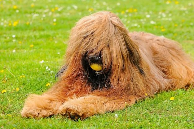 Simpatico cane briard marrone che gioca in un parco