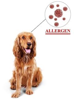 Cocker spaniel marrone sveglio con la nuvola sopra la sua testa concetto di allergia animale.