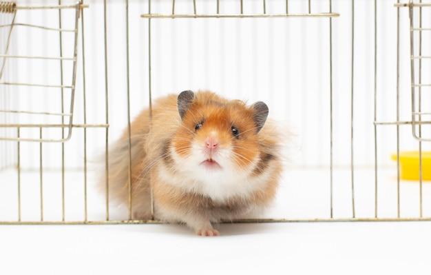 Simpatico criceto marrone nella gabbia