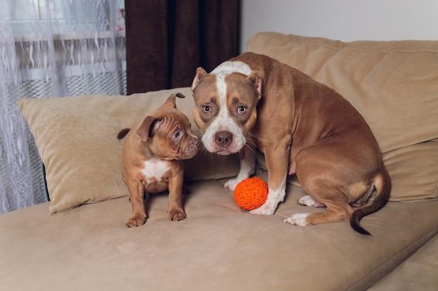 Cucciolo di bullo carino e madre sul divano di casa.