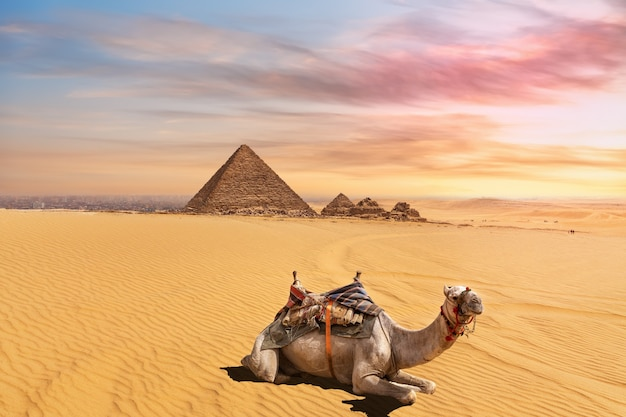 Simpatico cammello di fronte al complesso della piramide di menkaure, giza, cairo, egitto.