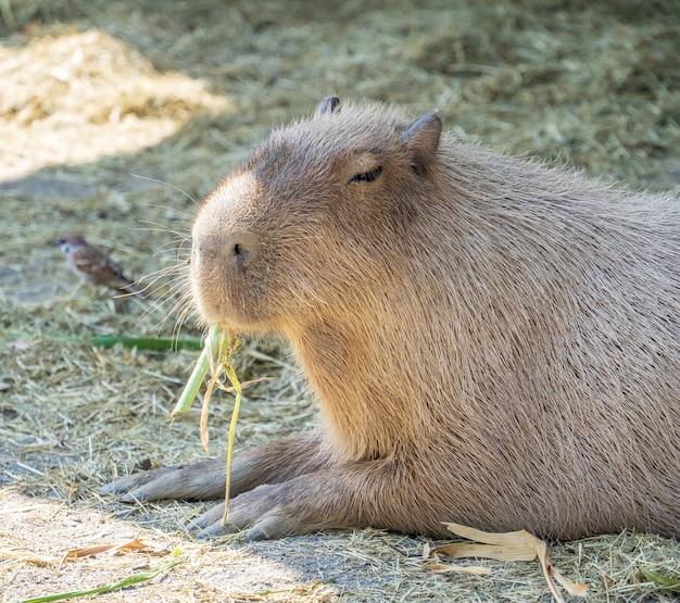 Carino capibara (topo più grande) che mangia e riposa assonnato allo zoo, tainan, taiwan, primo piano