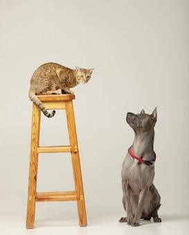 Simpatico gatto e cane sul muro bianco soffici amici thai ridgeback e serengeti cat