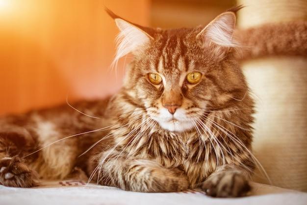 Simpatico gatto della razza maine coone