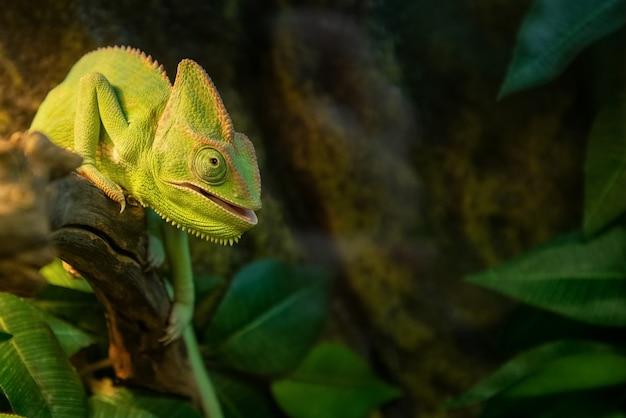 Camaleonte carino con la bocca aperta si siede sul ramo