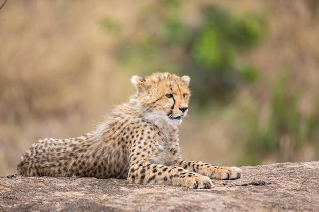 Cucciolo di ghepardo carino