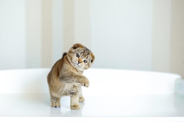 Carino piccolo gattino dalle orecchie pendenti pulito di colore marrone