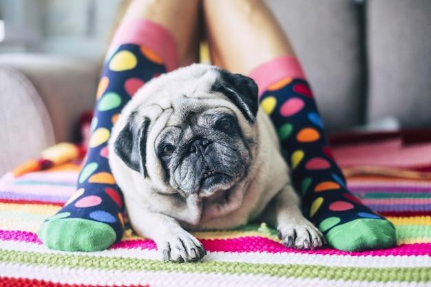 Carino primo piano di un bel carlino tra due gambe con calzini colorati - il migliore amico dell'uomo per sempre e sempre insieme