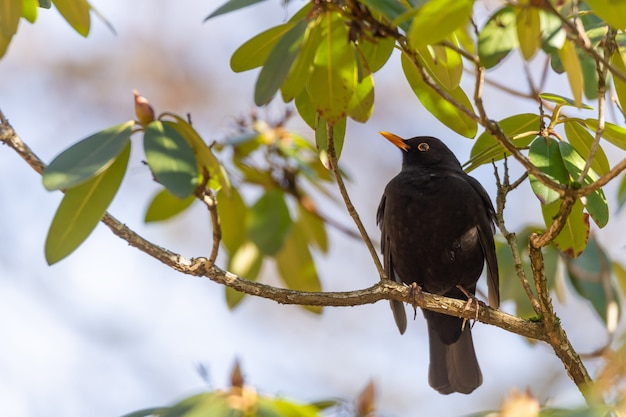 Simpatico merlo comune in piedi su un ramo di un albero con foglie intorno