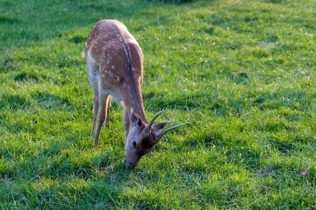 Simpatici cervi al pascolo in un campo verde