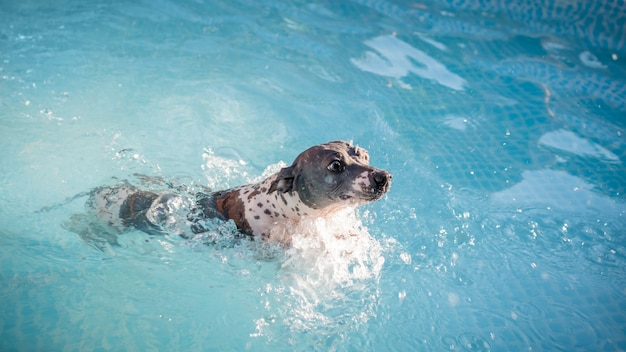 Un simpatico cane (american hairless terrier) sta nuotando in una piscina