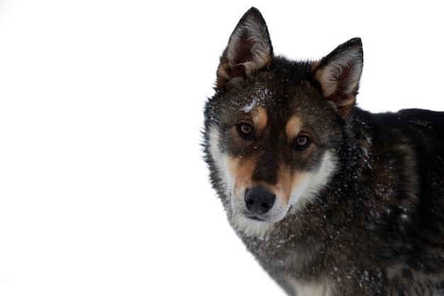 Un simpatico cane sta guardando direttamente la telecamera isolare su sfondo bianco con spazio di copia