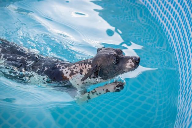 Un simpatico cane sta nuotando in una piscina con acqua blu in una giornata di sole estivo